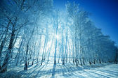 The sun shines through the trees covered with hoarfrost. — Stock Photo