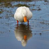 Home goose spring feeding lake.  — Foto Stock