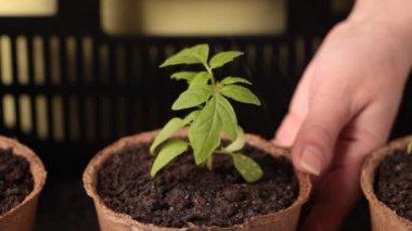 Watering the plants after planting in peat bowl of fertile soil — Stock Video