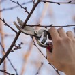 Stock Photo: Pruning fruit tree - Cutting Branches at spring