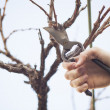 Stock Photo: Grape pruning