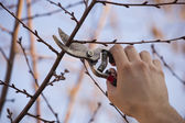 Pruning fruit tree - Cutting Branches at spring — Stock Photo