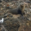 Sea lion sitting on rock — Stock Photo #12159235