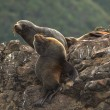 Sea lion sitting on rock — Stock Photo #12159246
