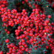 Stock Photo: Cotoneaster horizontal