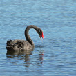 Black swan, anatidae — Stock Photo #12287907