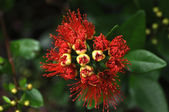 Pohutukawa flowering — Stock Photo