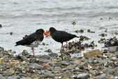 Variable (Haematopus unicolor) Oyster catcher bird, seen on one of the beaches of New Zealand. — Stock Photo