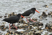 Variable (Haematopus unicolor) Oyster catcher bird — Stock Photo