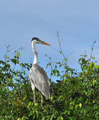 Heron in a tree — Stock Photo