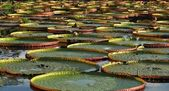 Giant water lily in the pond — Stock Photo