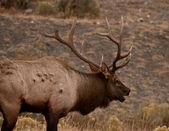 Vapiti deer roaring — Stock Photo