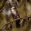 Gray jay sitting on the tree — Stock Photo #17450339