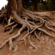 Roots of tree — Stock Photo #17450489