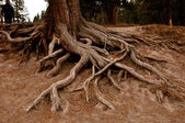 Roots of the tree — Stock Photo