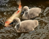 Swan chicks — Stock Photo