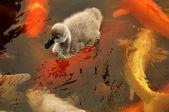 черный лебедь куриных и красочные поу — Стоковое фото