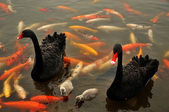 Black swan wich chicks — Stock Photo