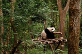 Giant panda sleeping — Stok fotoğraf