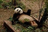 гигантская панда есть бамбук — Стоковое фото