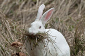 Rabbit building nest — Stock Photo