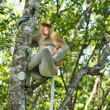 Proboscis monkey on the tree — Stock Photo #21615461