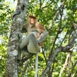 Proboscis monkey on the tree — Stock Photo