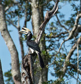 Hornbill on the tree — Stock Photo