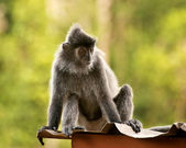 Silvered leaf monkey sitting on the roof — Stock Photo