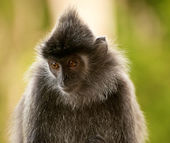 Silvered leaf monkey close up — Stock Photo
