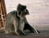 Silvered leaf monkey thinking — Stock Photo