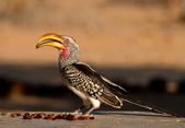 Southern yellow-billed hornbill — Stock Photo