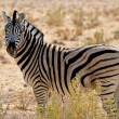 Zebra — Stock Photo #34678501