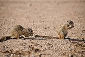 非洲地面松鼠 — 图库照片