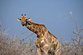 Giraffe eating acacia flowers, — Stock Photo