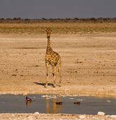 Giraffe at the waterhole — Stock Photo