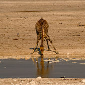 Giraffe is drinking the water — Stock Photo