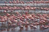 Flamingo in Walvis bay — Stock Photo