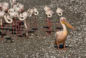 Vit pelikan och flamingo — Stockfoto