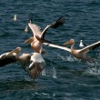The pelicans take off  from the water — Stock Photo