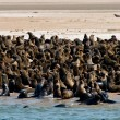 Сolony of fur seals — Stock Photo