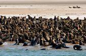 Сolony of fur seals — Stock Photo