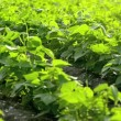 Green beans field — Stock Video
