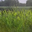 Marsh reed close up — 图库视频影像