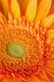 Orange gerbera daisy — Stock Photo