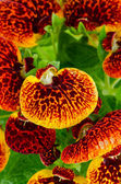 Closeup of yellow and red calceolarua flowers — Stock Photo