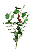 Christmas holly branch — Stock Photo
