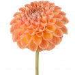 Orange dahlia flower — Stock Photo