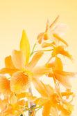 Beautiful orange dendrobium flowers — Stock Photo