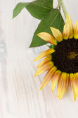 Sunflower flower — Stock fotografie